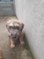 Irish wheaten terrier puppies soft coated for sale.