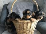 Yorkshire Terrier puppies in Roscommon for sale.