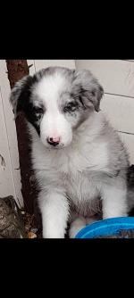 Blues Merlin collie for sale.