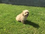 Red Cavapoo pups for sale.