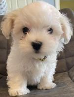 Pure Bred Maltese Pups for sale.