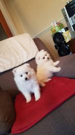 Japanese Spitz puppy for sale.