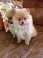 Small breed Pomeranian for sale.