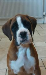 IKC Boxers pups in Offaly for sale.