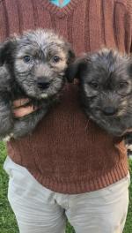 Irish Glen of Imaal Terrier in Wicklow for sale.