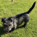 Irish Glen of Imaal Terrier for sale.