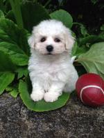 IKC Registered Bichon Frise Puppies for sale.