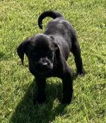 Irish Kennel Club Registered Black Labrador Retrievers for sale.