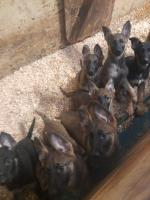 German Shepard Pups in Mayo for sale.