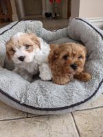 2 male Cavachon pups for sale.