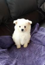 Bichon Frise puppy in Cork for sale.