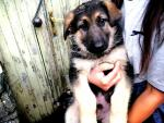 Pure-bred German Shepherd pups with robust health for sale.