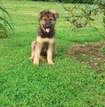 Pure bred Straight Back German Shepherd pups for sale.