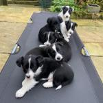 Collie x Terrier for sale.