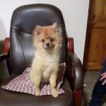 Gorgeous Pomeranian Pup for sale.