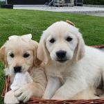 Beautiful IKC registered Golden Retriever pups for sale.