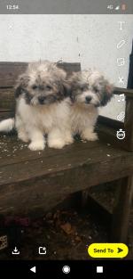 Zuchon female puppies.... Google it! for sale.