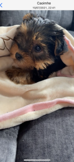 Yorkshire terrier female for sale.