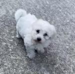Bichon Puppies for sale.