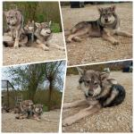 Wolfdogs/malamute puppies in Donegal for sale.