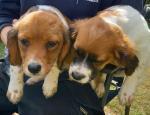 Cavajack puppies in Wicklow for sale.