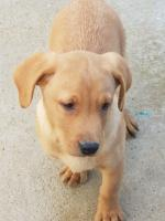 Fox Red Labrador for sale.