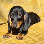 Lovely Harlekin Dachshund pups for sale.