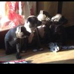 Staffordshire puppies for sale [sold].