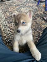 Purebred Husky puppies for sale.
