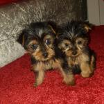 Miniature Yorkshire Terrier €950 [sold].