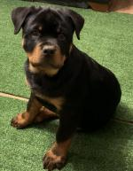 Rottweiler IKC puppies for sale.