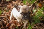 French Bulldog Freya for sale.