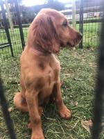 IKC Irish Red Setters for sale.