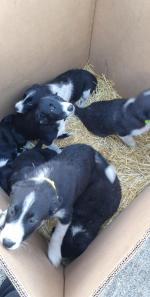 Sheepdog puppies in Laois for sale.