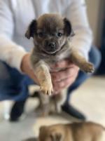 Chug (Chihuahua x Pug) puppies for sale.