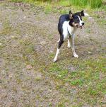 Female Collie in Limerick for sale.