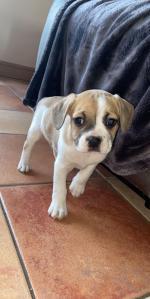 Beagle bulldog for sale.