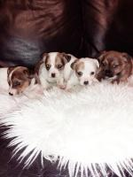 Adorable Jackrussell puppies for sale.