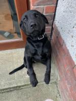 Ari Black Labrador in Louth for sale.