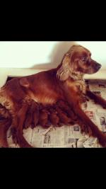 Red setter puppies [sold].