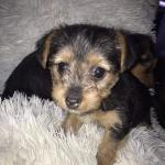 Yorkshire terrier for sale.