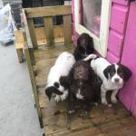 Springer spaniel pups for sale.