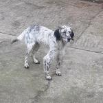 English setter for sale.