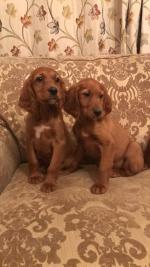 Red setter for sale.