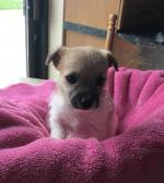 Female Bichon frise cross jackrussell for sale.