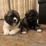 Purebred Caucasian Shepherd pups for sale.