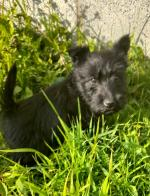 Scottish Terrier Puppies for sale.