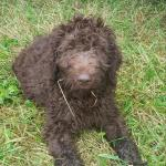 Doodle pups in Wexford for sale.