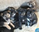 Bernese mountain dog siberian husky cross for sale.