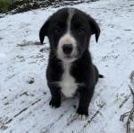 Labrador Collie Cross [sold].